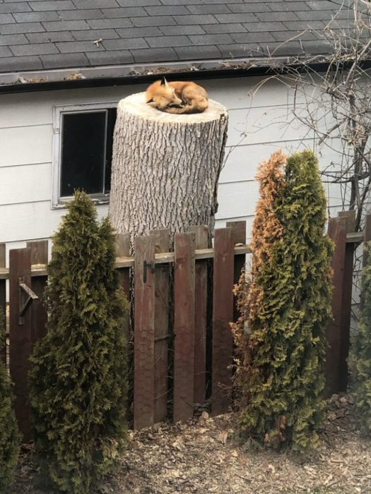 Fox diving into a tree trunk