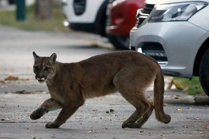 Wild cougars in the streets of Santiago de Chile