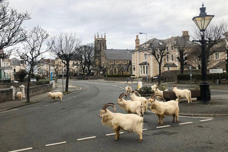 Cabras montescas paseando por las calles de llandudno en Gales