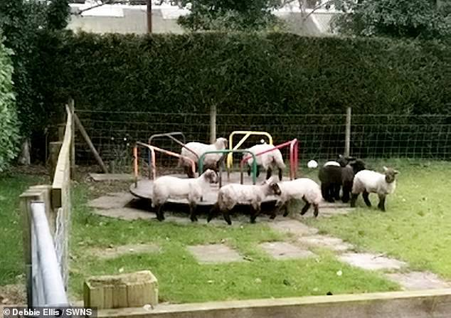 Borregos jugando en un parque infantil en Preston