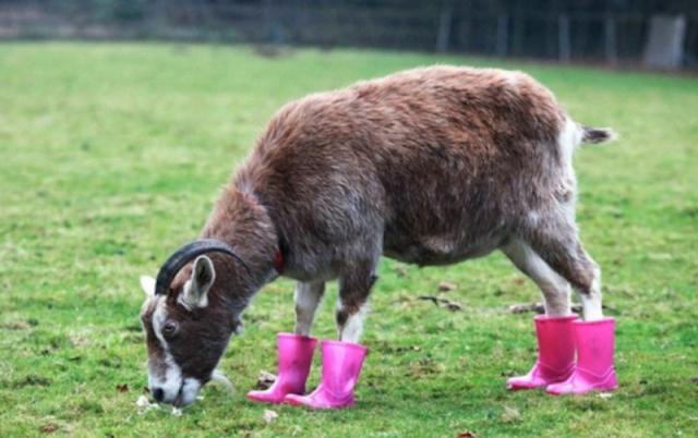 Cabra pastando en un jardín mientras usa unas botitas de hule de color rosa