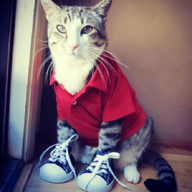 Gatito usando una camisa de color rojo con unos tenis converse
