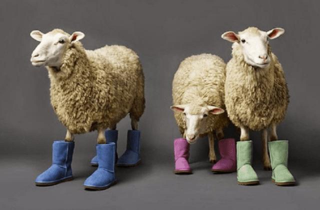Borregos usando botas tipo ugss de diferentes colores