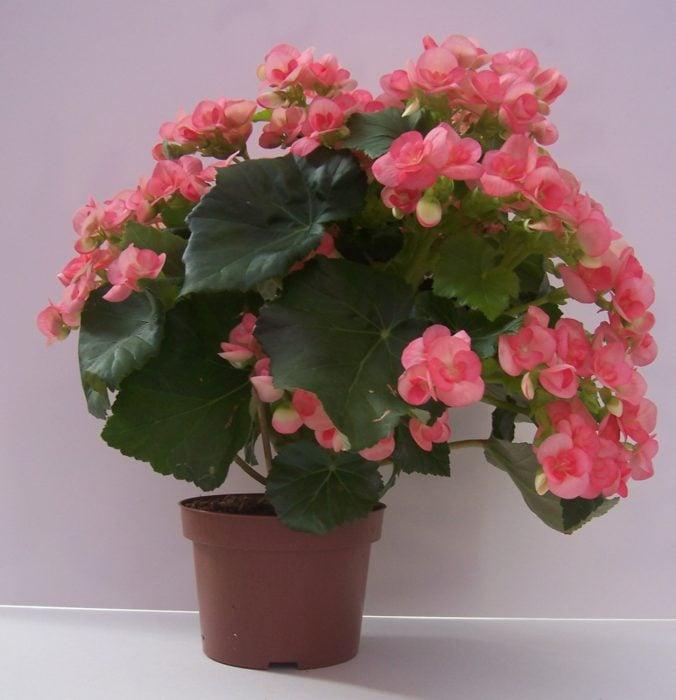 Maceta con de planta rosada llamada Begonia Elatior