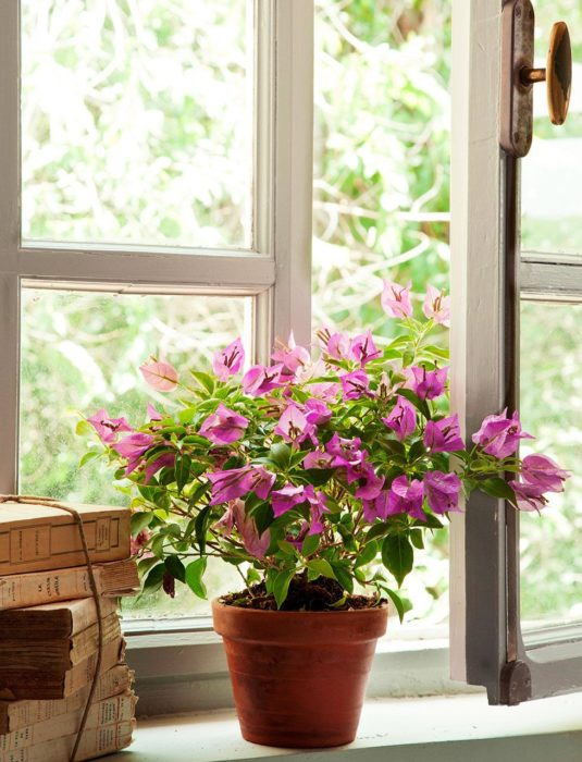 Maceta con de planta rosada llamada Buganvilla