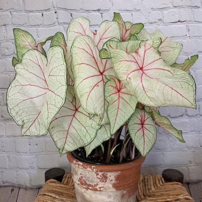 Maceta con de planta rosada llamada Caladium reina blanca