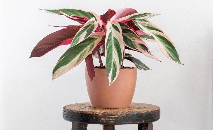 Maceta con de planta rosada llamada Calathea