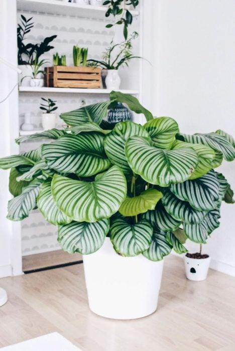 Planta de interior calathea