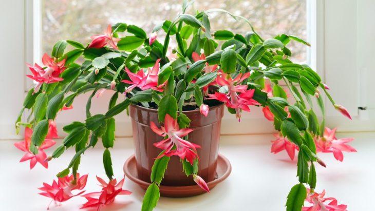 Planta de interior cactus de navidad