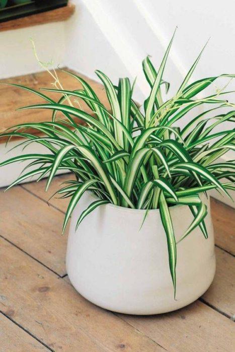 Planta de interior cinta