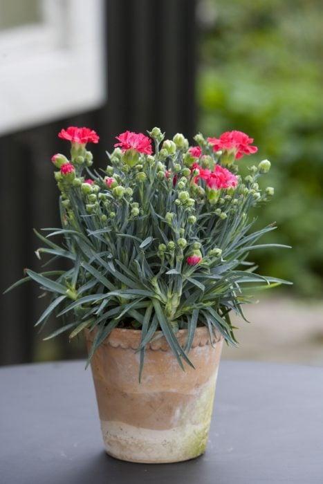 Maceta con de planta rosada llamada Claveles