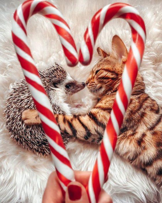 Herbee el erizo y Audree la gatita de bengala en San Valentín