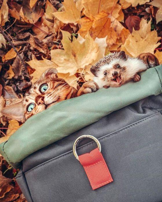 Herbee el erizo y Audree la gatita de bengala acostados en las hojas de otoño