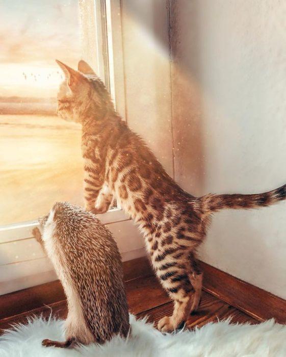 Herbee el erizo y Audree la gatita de bengala asomados en la vetana