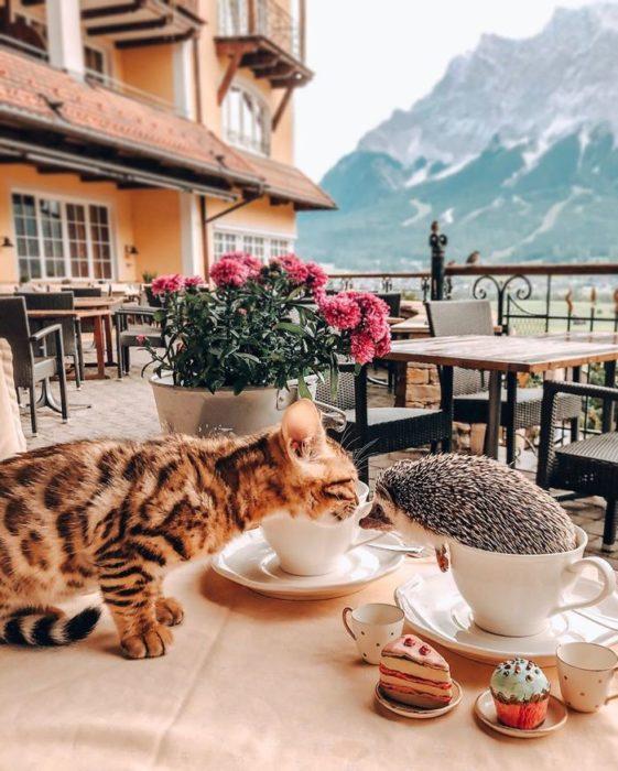 Herbee el erizo y Audree la gatita de bengala tomando desayuno