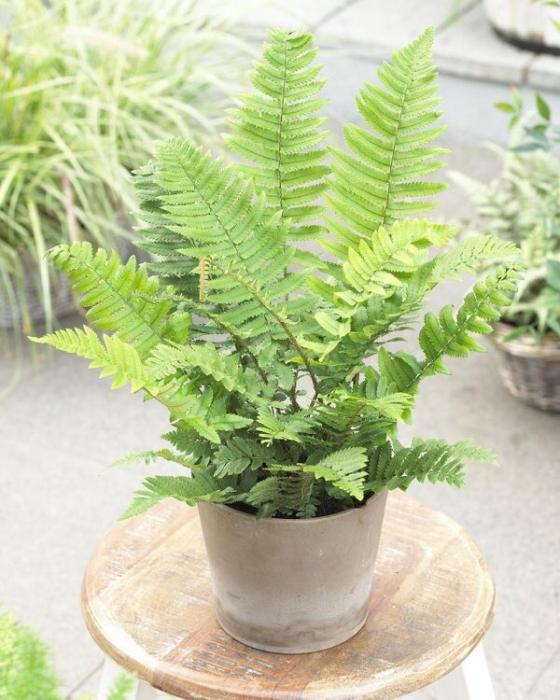 Planta de interior helecho