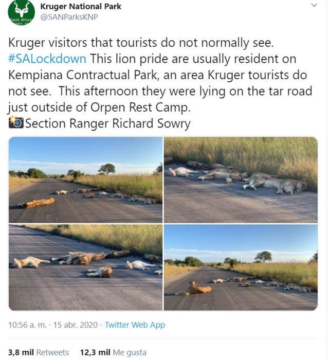 Leones durmiendo tranquilamente en carretera de Sudáfrica
