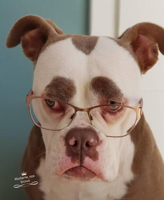 Madame Eyebrows, la perrita bulldog con cejas que la hacen parecer triste; perro con lentes