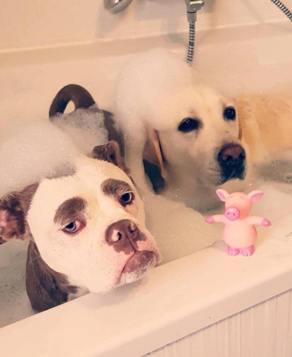 Madame Eyebrows, la perrita bulldog con cejas que la hacen parecer triste; perros en la bañera, labrador dorado