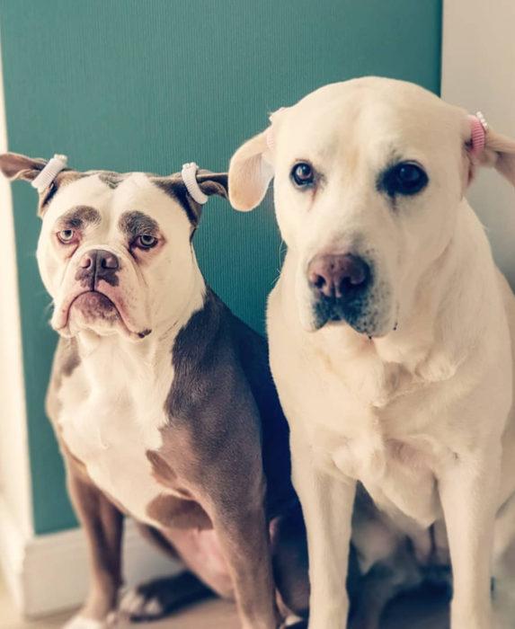 Madame Eyebrows, la perrita bulldog con cejas que la hacen parecer triste; perros con coletas, labrador dorado