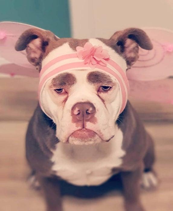Madame Eyebrows, la perrita bulldog con cejas que la hacen parecer triste; perro con disfraz rosa de hada