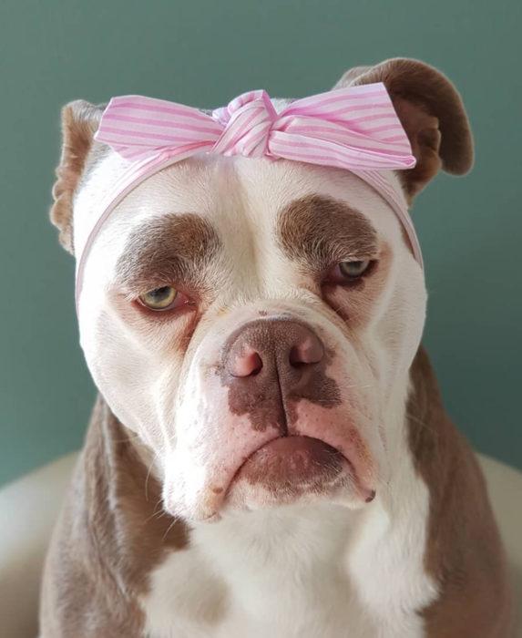 Madame Eyebrows, la perrita bulldog con cejas que la hacen parecer triste; perro con moño