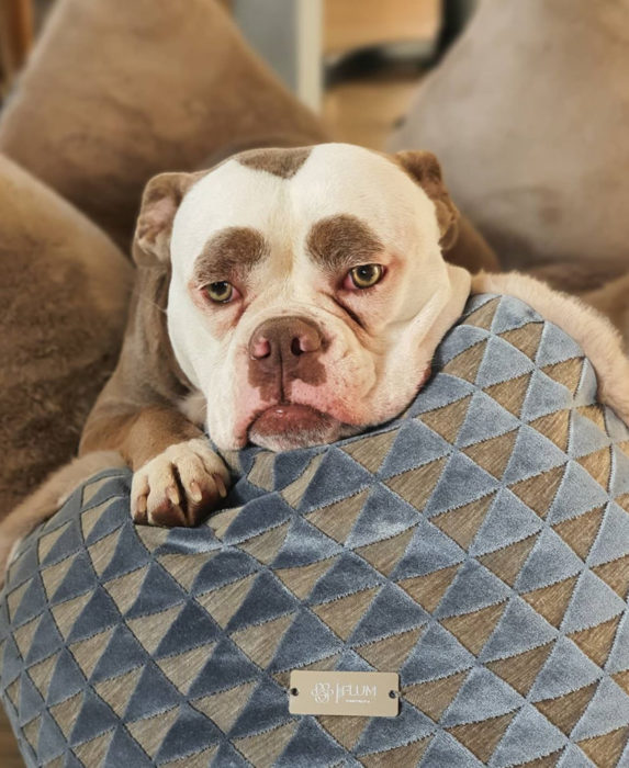 Madame Eyebrows, la perrita bulldog con cejas que la hacen parecer triste; perro acostado