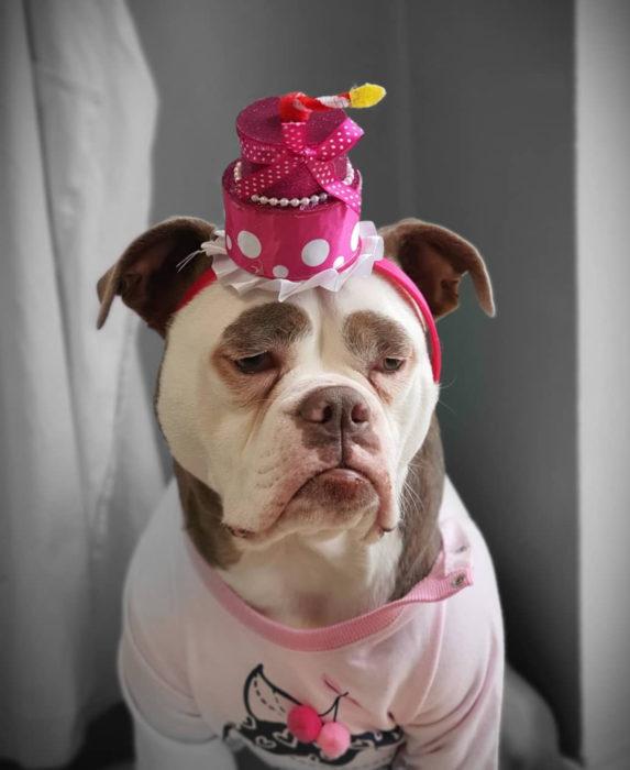 Madame Eyebrows, la perrita bulldog con cejas que la hacen parecer triste; perro con sombrero
