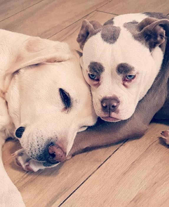 Madame Eyebrows, la perrita bulldog con cejas que la hacen parecer triste; perra con manchasy labrador dorado