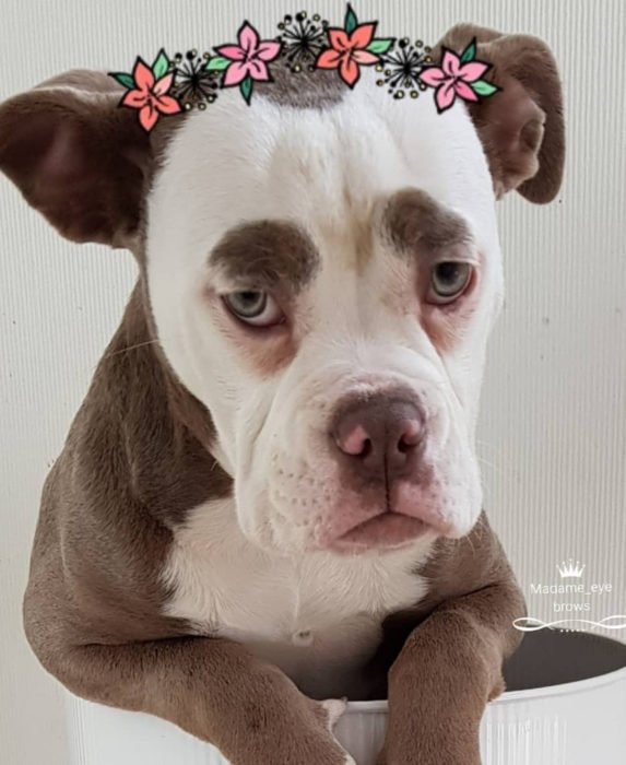 Madame Eyebrows, la perrita bulldog con cejas que la hacen parecer triste; perro con filtro de Snapchat