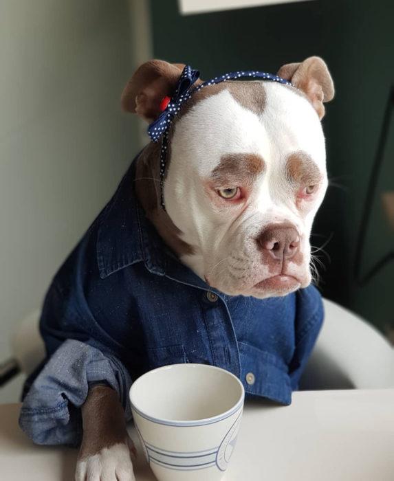Madame Eyebrows, la perrita bulldog con cejas que la hacen parecer triste; perro con café