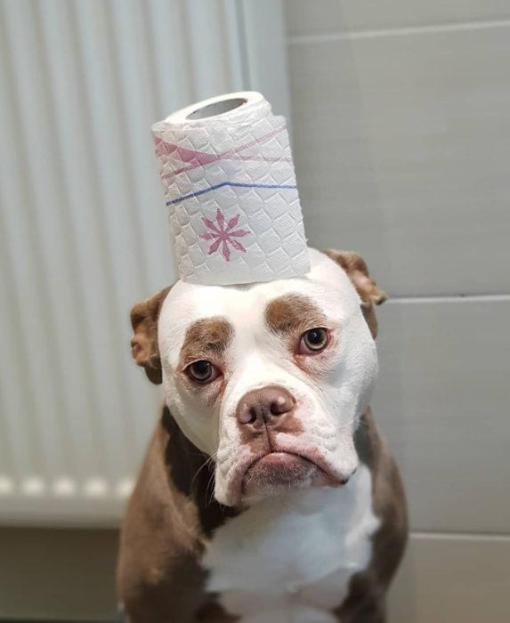 Madame Eyebrows, la perrita bulldog con cejas que la hacen parecer triste; perro con papel de baño