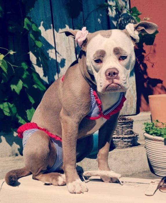 Madame Eyebrows, la perrita bulldog con cejas que la hacen parecer triste; perro con traje de baño