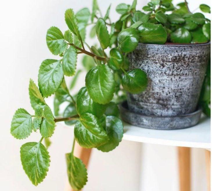 Planta de interior monedita