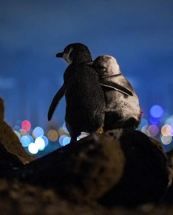 Pareja de pingüinos abrazados en la orilla de las piedras