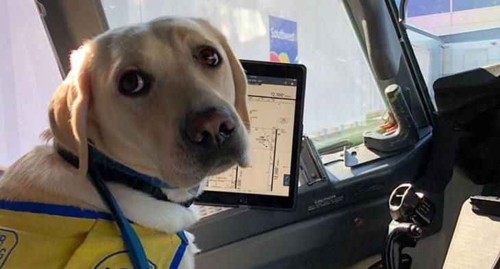 Wynn perrita labrador que ayuda a médicos contra Covid-19 viajando en automóvil