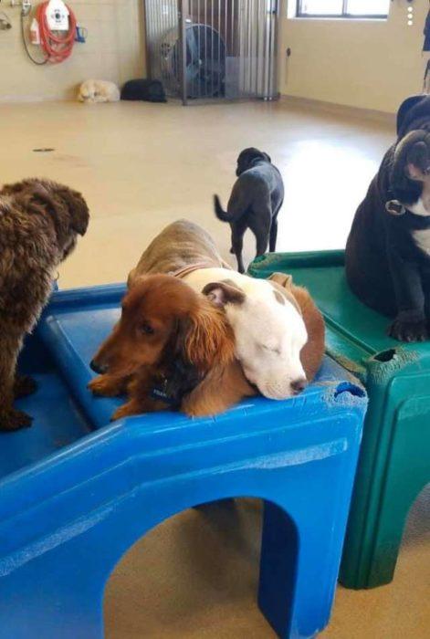 Perrito se acurruca sobre otros perros para dormir con ellos