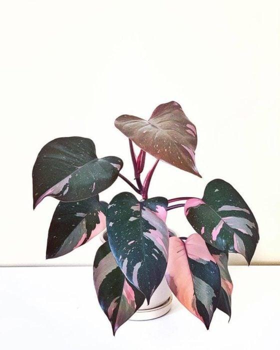 Maceta con de planta rosada llamada Philodendron rosa