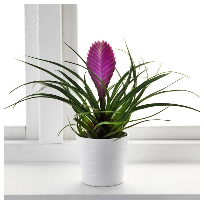 Planta de interior pluma rosa