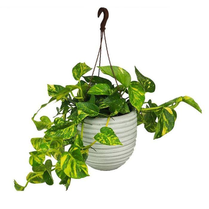 Planta de interior poto