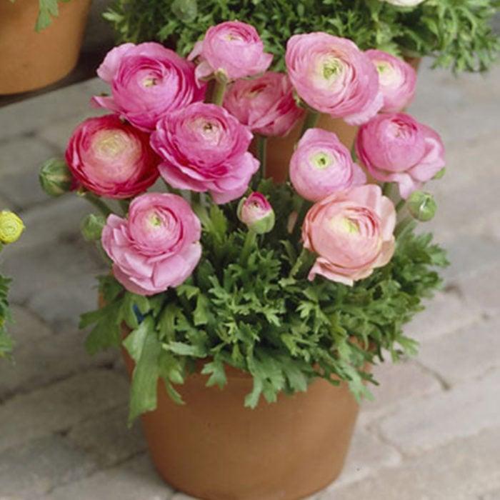 Maceta con de planta rosada llamada Ranúnculos