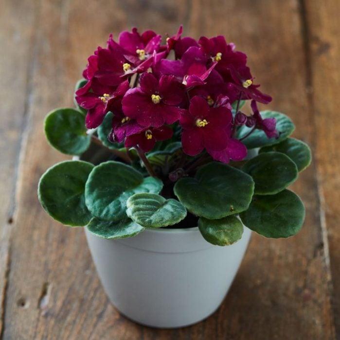 Planta de interior violeta africana