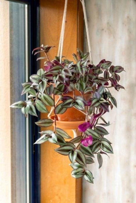 Maceta con de planta rosada llamada Zebrina