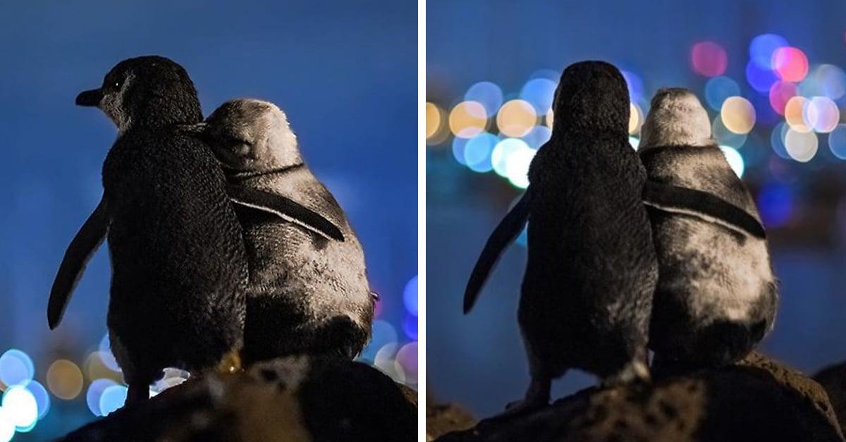 Fotografía el abrazo entre pingüinos viudos y enamora a internet