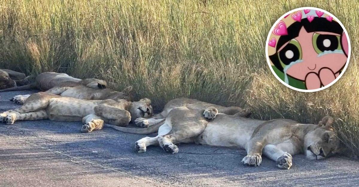 A falta de turistas los leones duermen tranquilos en carreteras de Sudáfrica