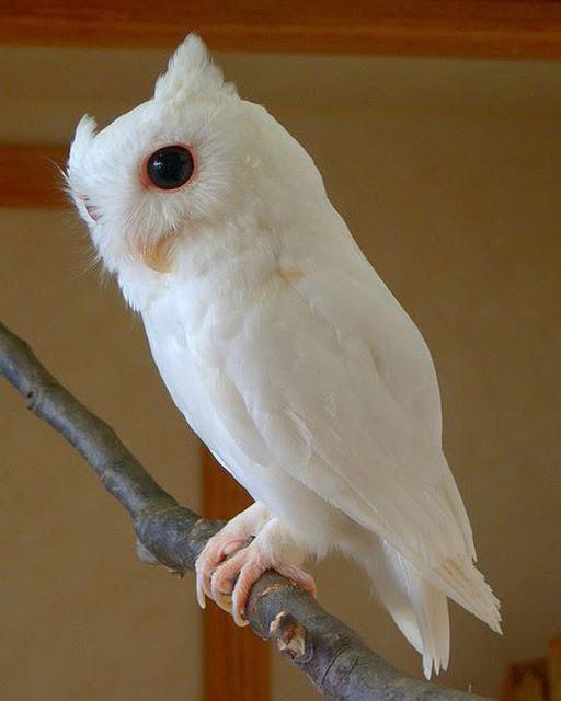 Lechuza albina