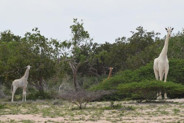 Jirafa albina
