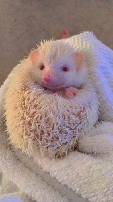 Erizo albino