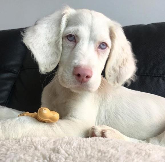 Perro albino