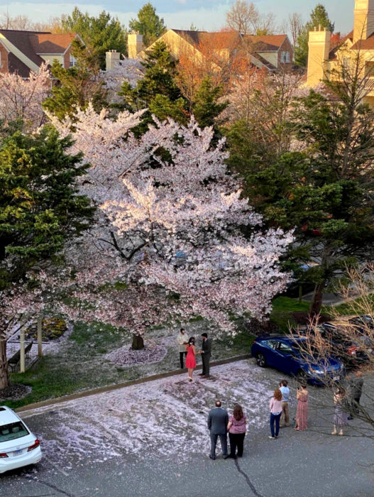 Parejas se casan en medio de cuarentena por coronavirus; esposos bajo un árbol de cerezo